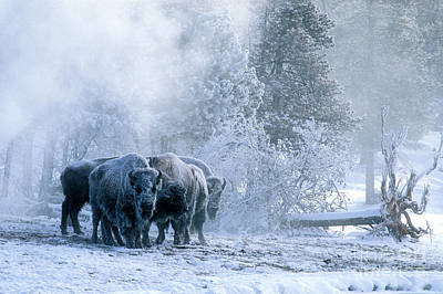 Bison Photograph - Huddled For Warmth by Sandra Bronstein