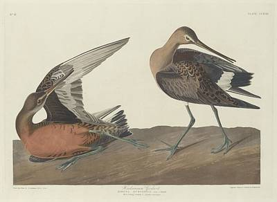 Seagull Drawing - Hudsonian Godwit by Dreyer Wildlife Print Collections