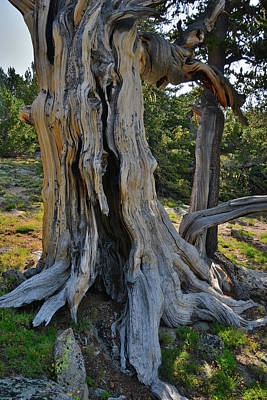 Photograph - Huge Ancient Bristlecone Pine On Mt. Goliath by Ray Mathis