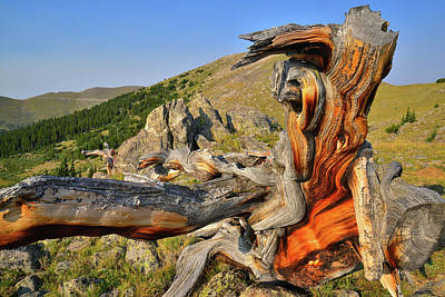 Photograph - Huge Fallen Bristlecone Pine On Mt. Goliath by Ray Mathis
