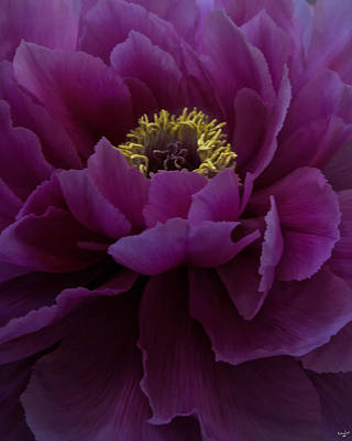 Photograph - Huge Magenta Peony by Chris Lord