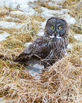 Photograph - Huh- Great Gray Owl by Lloyd Alexander