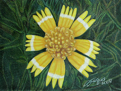 Fuqua - Artwork Drawing - Huisache Daisy by Beverly Fuqua