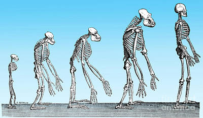 Human Evolution  Art Print by Science Source