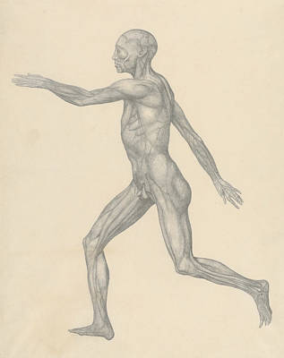 Drawing - Human Figure, Lateral View, After Removal Of The Skin And The Underlying Facial Layers  by George Stubbs