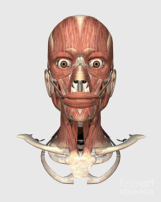 Muscular Digital Art - Human Head Showing Bone And Muscles by Stocktrek Images