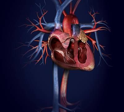 Pump Organ Photograph - Human Heart, Artwork by Claus Lunau