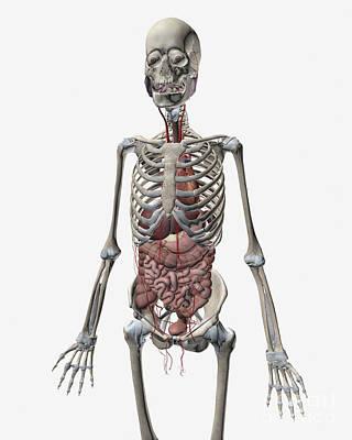 Human Skeletal System With Organs Art Print by Stocktrek Images