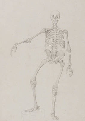 Halloween Drawing - Human Skeleton, Anterior View by George Stubbs