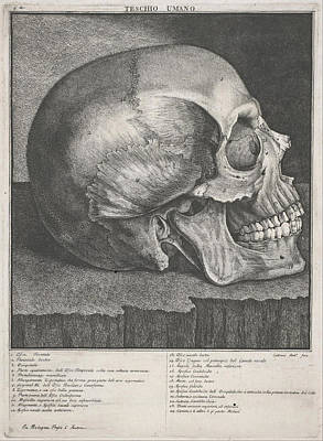 Drawing - Human Skull by Antonio Cattani