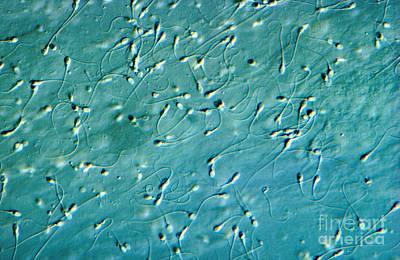 Nic Photograph - Human Sperm, Dic by M. I. Walker