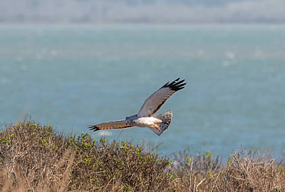 Photograph - Humboldt Harrier by Loree Johnson