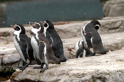 Photograph - Humboldt Penguins by Baggieoldboy