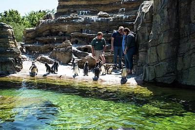 Photograph - Humboldt Penguins by Tom Cochran