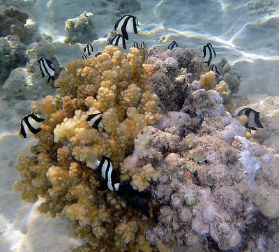 Humbug Photograph - Humbug Dascyllus In The Red Sea by Johanna Hurmerinta
