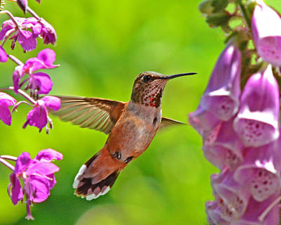 Photograph - Hummer Among Wildflowers by Jack Moskovita