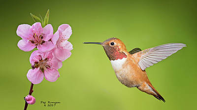 Photograph - Hummer And Apple Blossom by Peg Runyan