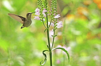Photograph - Hummer And False Dragonhead by Debbie Oppermann