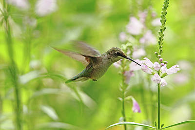 Photograph - Hummer And Obedient Plant by Debbie Oppermann