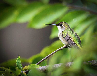Photograph - Hummer In A Tree by Philip Rispin