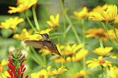 Photograph - Hummer In Summer Garden by Debbie Oppermann