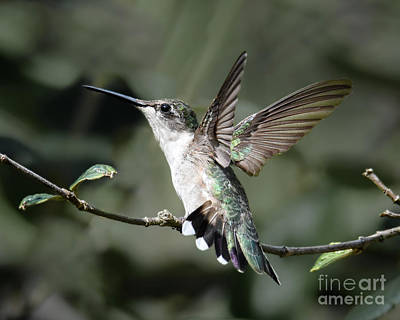 Photograph - Hummer Intimidation by Amy Porter