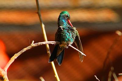 Photograph - Hummer by Kathryn Meyer