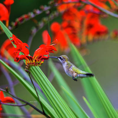 Photograph - Hummer Lunch by Dale R Carlson