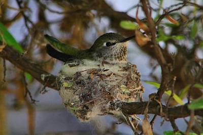 Photograph - Hummer Nesting by Kathryn Meyer