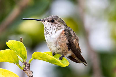 Photograph - Hummer On A Leaf by Phil Stone