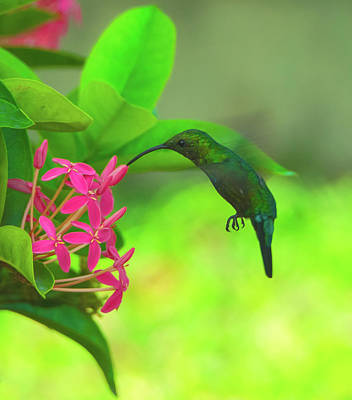 Photograph - Hummer On St Croix Flowers Vertical by Jeff at JSJ Photography