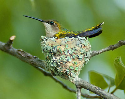 Photograph - Hummer Profile by Don Wolf