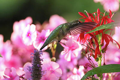 Photograph - Hummer Red And Lobelia  by Brook Burling