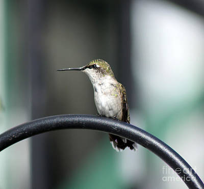 Photograph - Hummer Sitting On The Gate  by Cathy  Beharriell