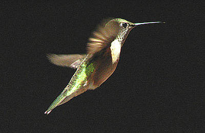 Photograph - Hummer by T Guy Spencer