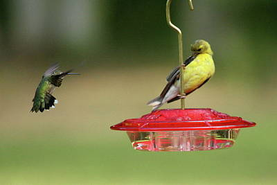 Photograph - Hummer Vs. Finch 1 by Lou Ford