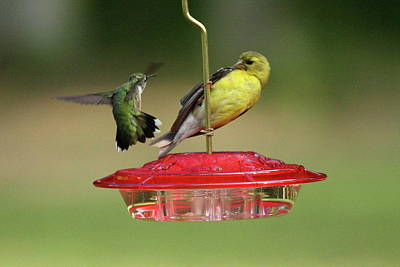 Photograph - Hummer Vs. Finch 2 by Lou Ford