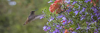 Photograph - Hummer With Peach Geranium by Chuck Flewelling