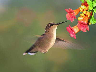 Photograph - Hummer With Trumpet Vine Flowers by Judy Johnson