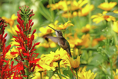Photograph - Hummers Love Red by Debbie Oppermann