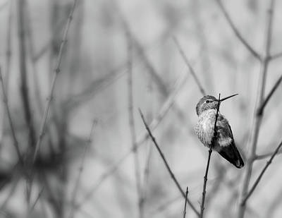 Photograph - Humming Bird Bw 2 by Jonathan Nguyen