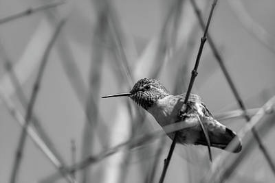 Photograph - Humming Bird Bw by Jonathan Nguyen