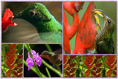 Humming Bird Collection Collage  Art Print by Navin Joshi