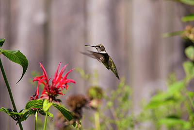 Humming Bird Hovering Art Print