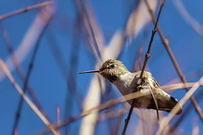 Photograph - Humming Bird by Jonathan Nguyen