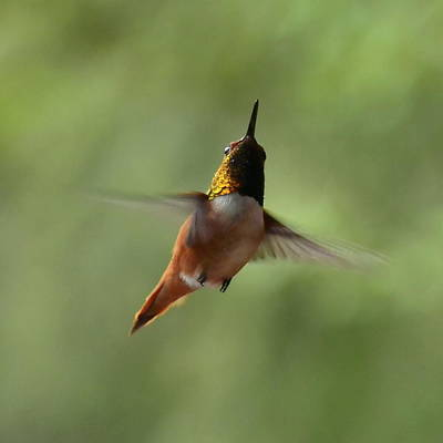 Photograph - Humming Bird by Larry Poulsen