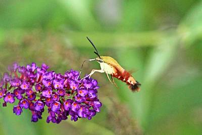 Butterfly Prey Photograph - Humming Bird Moth by Geraldine Scull