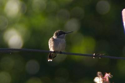 Photograph - Humming Bird On A Fence by Toni Berry