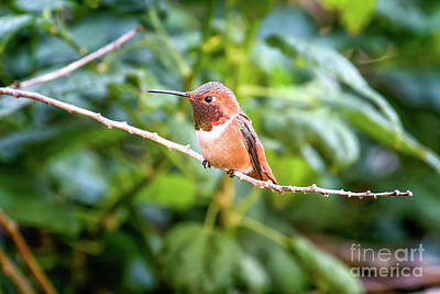 Photograph - Humming Bird On Stick by Stephanie Hayes