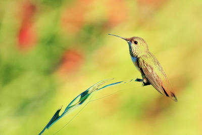 Photograph - Humming Bird Paint by Steve McKinzie